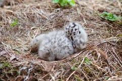 Младенец и яичко чайки в гнезде Стоковые Фото