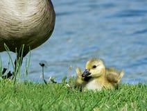 Младенец Канада Gosling с поднятыми крылами Стоковые Фото