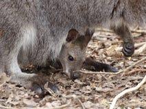 Младенец кенгуру в мешке матери стоковые фотографии rf