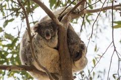 Младенец коалы Стоковая Фотография RF
