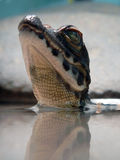 Младенец крокодила карлика Стоковая Фотография RF