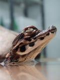 Младенец крокодила карлика Стоковая Фотография