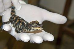 Младенец крокодила карлика Стоковое Изображение RF