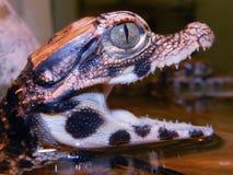 Младенец крокодила карлика Стоковое Изображение