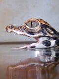 Младенец крокодила карлика Стоковые Изображения