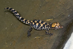 Младенец крокодила Стоковая Фотография
