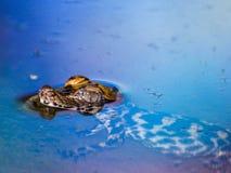 Младенец крокодила Стоковые Фотографии RF