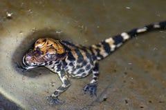 Младенец крокодила Стоковое Изображение