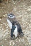 Младенец пингвина Magellan малый Стоковое фото RF