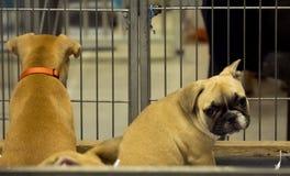 Младенец тюрьмы французского бульдога собаки стоковые фото