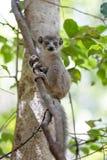 Младенец увенчанного национального парка Ankarana лемура Стоковые Изображения RF