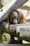 Младенец Bornean Orangutam в ponderous режиме Стоковые Фото