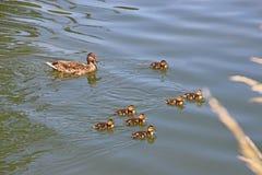 младенец ducks мать Стоковая Фотография