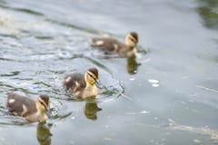 Младенец ducks сигнал весна Стоковые Фотографии RF