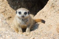 Младенец Meerkat Стоковое Изображение RF