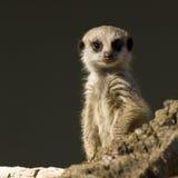 Младенец Meerkat Стоковая Фотография