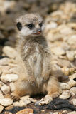 Младенец Meerkat Стоковая Фотография RF