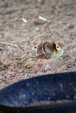 Младенец Peahens Стоковые Фотографии RF