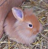 Младенец Ravvit милый на сене Стоковая Фотография