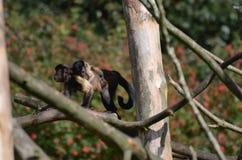 Младенец Tufted обезьяна Capuchin льнуть к задней части его мама ` s Стоковое фото RF