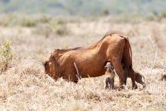 Младенец Warthogs выпивая от их мамы Стоковые Фото