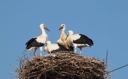 4 младенца белых аиста в аисте аиста гнезда Стоковое Фото