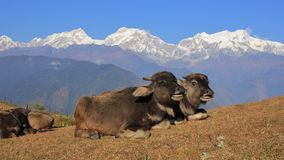 Младенцы индийского буйвола в Ghale Gaun и Manaslu выстраивают в ряд Стоковое фото RF