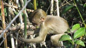 Младенческая обезьяна Стоковая Фотография