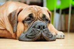 Младшая собака bullmastiff Стоковые Изображения