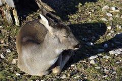 Млекопитающие - capreolus Capreolus Косул-оленей стоковое фото