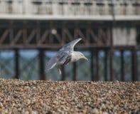 Набережная Брайтона - летание чайки над камешками стоковое фото rf