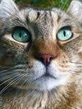 Наблюданный зеленым цветом кот рыся гористой местности Стоковое Изображение