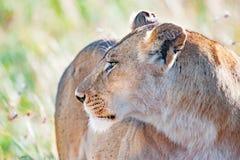 Наблюдательная львица в Serengeti, Танзании, Африке, сигнале тревоги льва, предупреждать львицы стоковое изображение rf