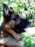 Наблюдательная собака немецкой овчарки в солнце Стоковое Изображение RF