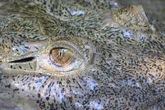 наблюдать аллигатора Стоковые Фотографии RF