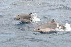 Наблюдать дельфина Стоковая Фотография RF