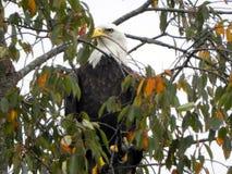 Наблюдать и сигнал тревоги острого зрения после приземляться в дерево стоковые фото