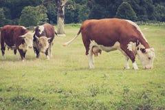 Наблюдать, как корова пасла Стоковые Фотографии RF