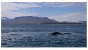 Наблюдать кита Стоковые Фотографии RF