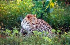 наблюдать леопарда Стоковые Изображения RF