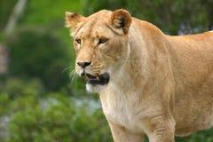 наблюдать льва стоковое изображение rf