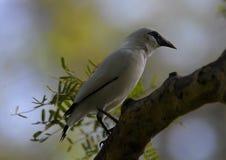 Наблюдать птицы myna Бали свой sorrounding стоковые фото