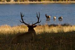 наблюдать семьи лося быка Стоковое Фото