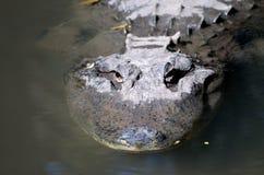 наблюдать gator стоковое фото rf