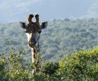 наблюдать giraffe Стоковые Изображения RF