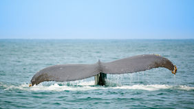 наблюдая кит Стоковое Фото