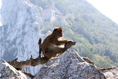 Наблюдая Macaque Barbary на утесе Гибралтара Стоковые Фотографии RF