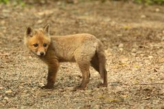 Набор красного Fox Стоковые Изображения RF