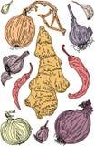 Набор пряных овощей и овощей корня иллюстрация вектора