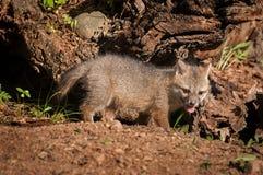 Набор серого Fox & x28; Cinereoargenteus& x29 серой лисицы; Стойки приближают к журналу Стоковые Изображения